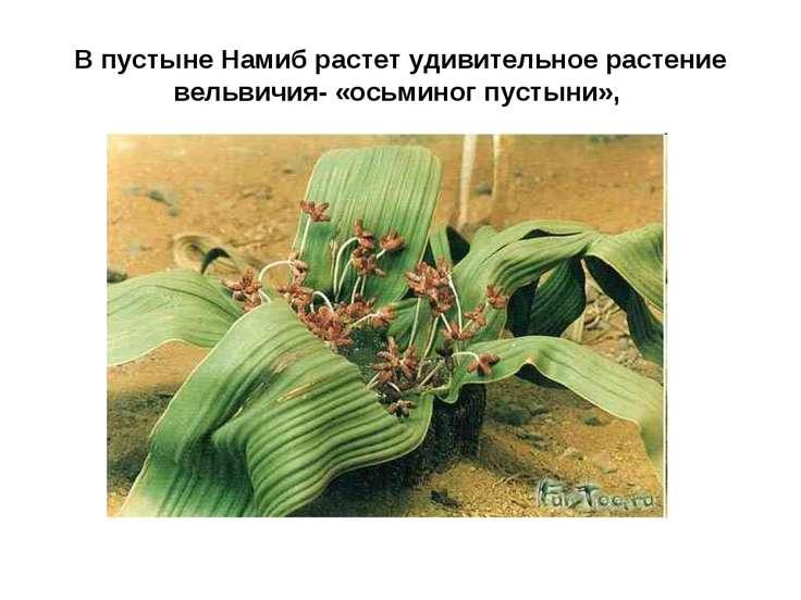 В пустыне Намиб растет удивительное растение вельвичия- «осьминог пустыни»,