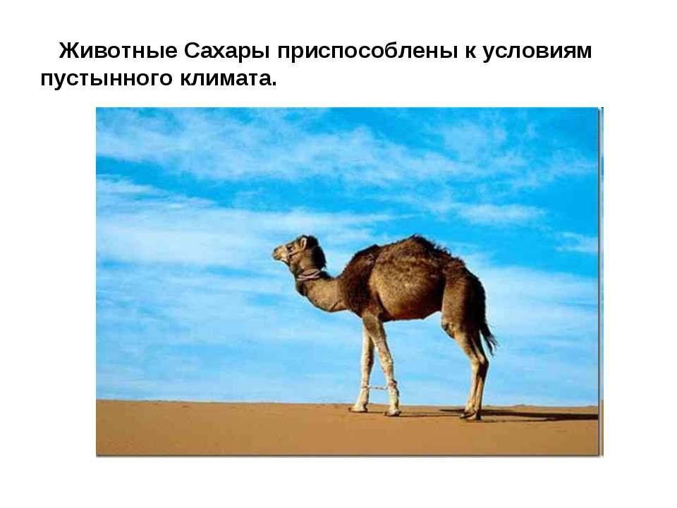 Животные Сахары приспособлены к условиям пустынного климата.