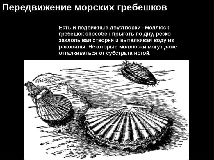 Передвижение морских гребешков Есть и подвижные двустворки –моллюск гребешок ...