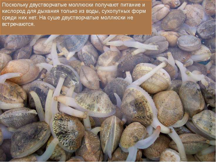 Поскольку двустворчатые моллюски получают питание и кислород для дыхания толь...
