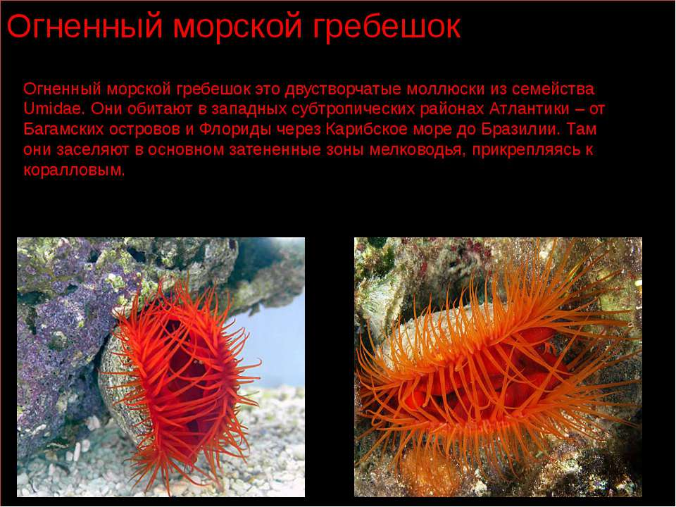 Огненный морской гребешок Огненный морской гребешок это двустворчатые моллюск...