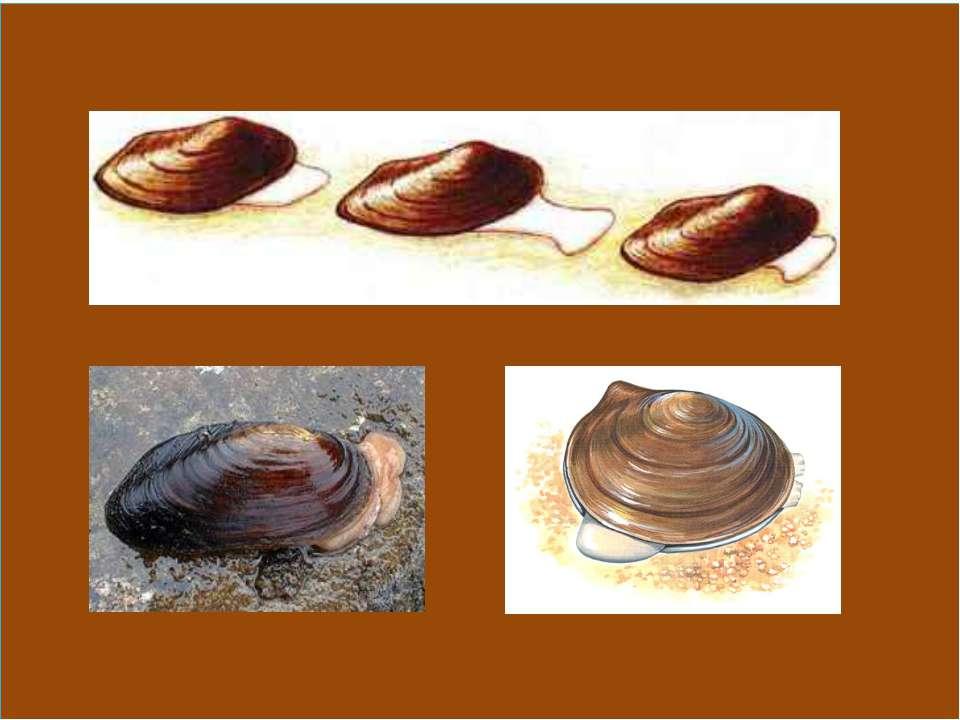 Передвижение двустворчатых моллюсков