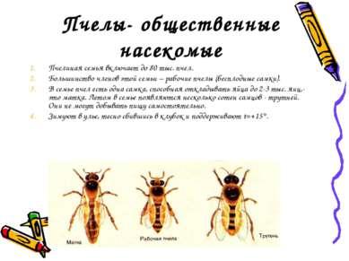 Пчелы- общественные насекомые Пчелиная семья включает до 80 тыс. пчел. Больши...