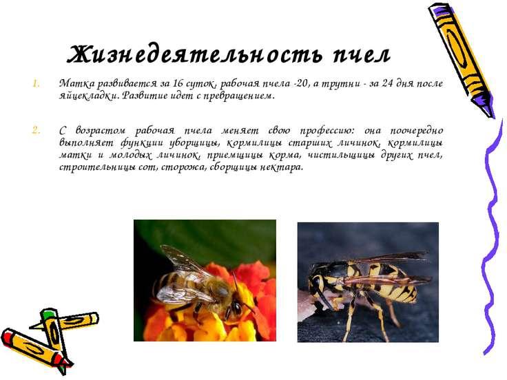 Жизнедеятельность пчел Матка развивается за 16 суток, рабочая пчела -20, а тр...