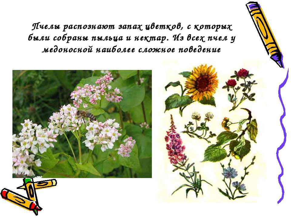Пчелы распознают запах цветков, с которых были собраны пыльца и нектар. Из вс...