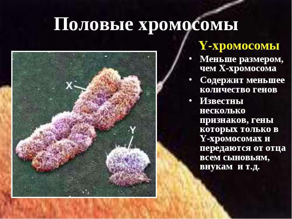 Y-хромосомы Меньше размером, чем Х-хромосома Содержит меньшее количество гено...