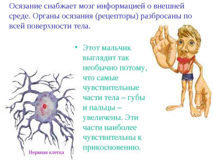 Осязание снабжает мозг информацией о внешней среде. Органы осязания (рецептор...