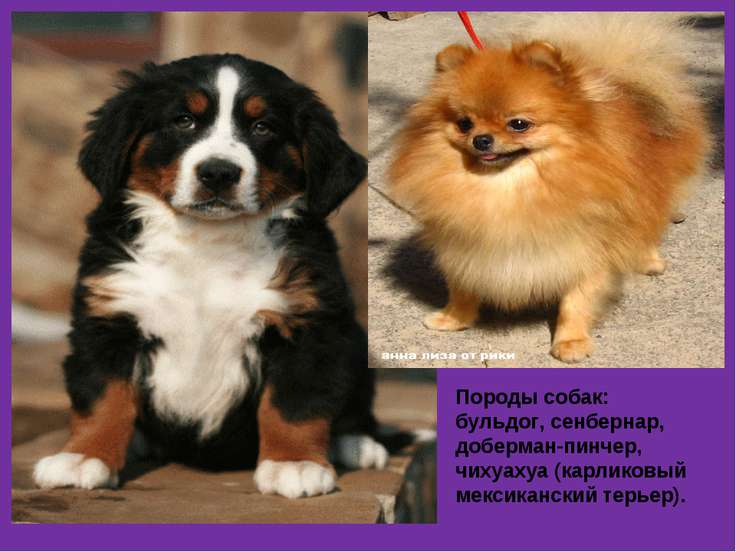 Породы собак: бульдог, сенбернар, доберман-пинчер, чихуахуа (карликовый мекси...