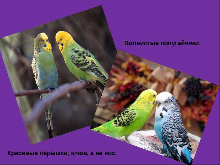 Красивые перышки, клюв, а не нос. Волнистые попугайчики.