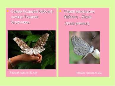 Самая большая бабочка- ночная Тизания Агриппина Самая маленькая бабочка – Ziz...