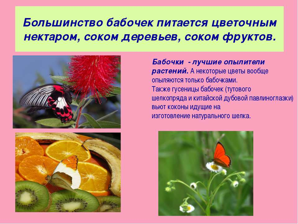 Большинство бабочек питается цветочным нектаром, соком деревьев, соком фрукто...