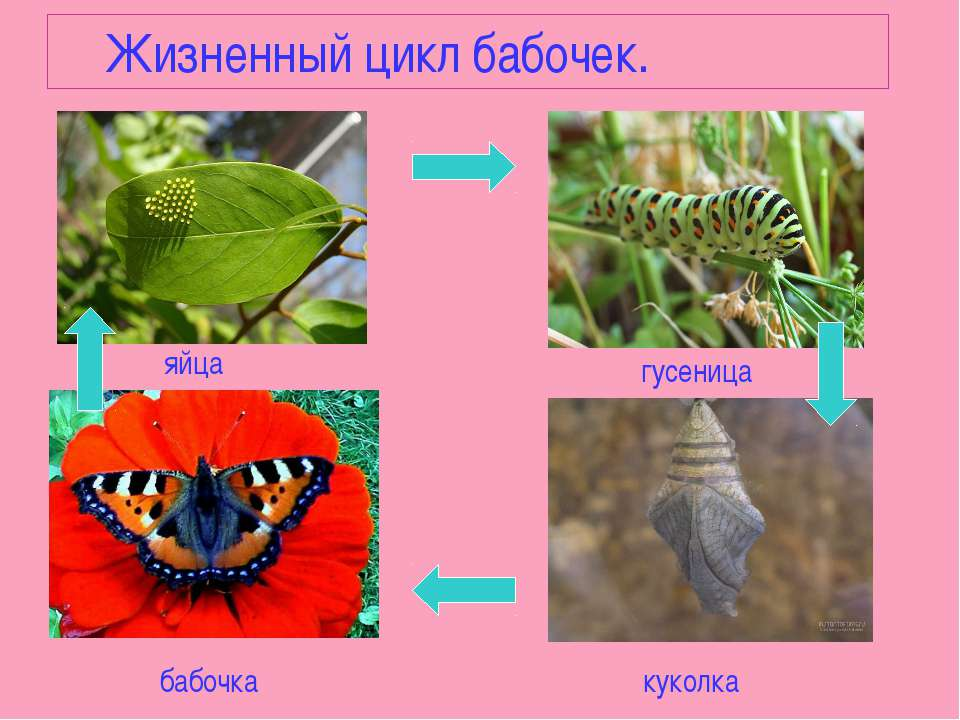 Жизненный цикл бабочек. яйца гусеница куколка бабочка