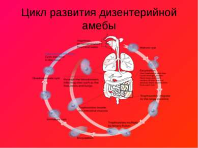 Цикл развития дизентерийной амебы