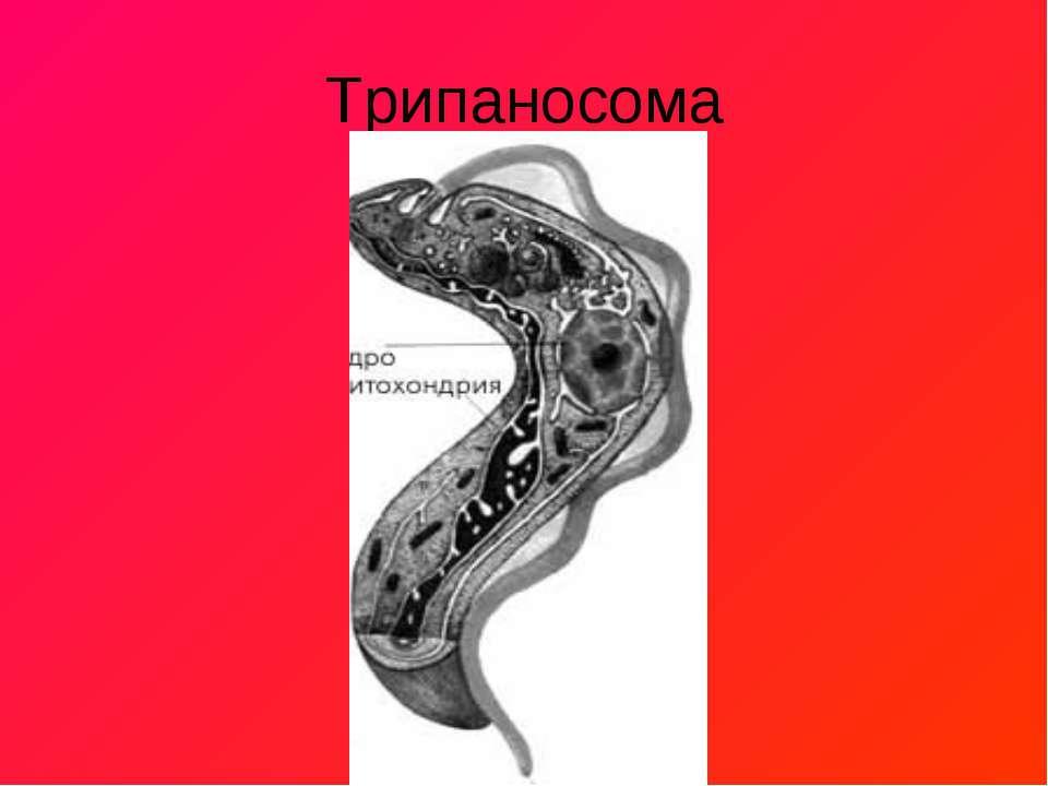 Трипаносома