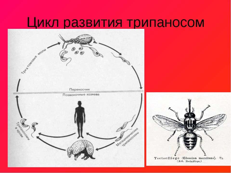 Цикл развития трипаносом