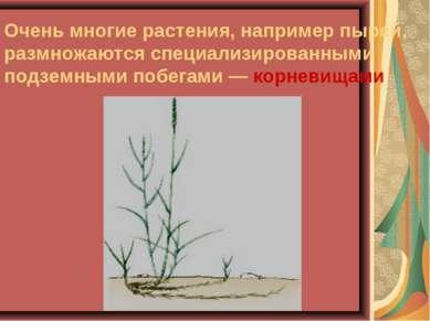 Очень многие растения, например пырей, размножаются специализированными подзе...