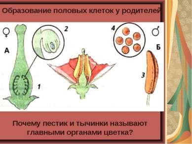 Образование половых клеток у родителей Почему пестик и тычинки называют главн...