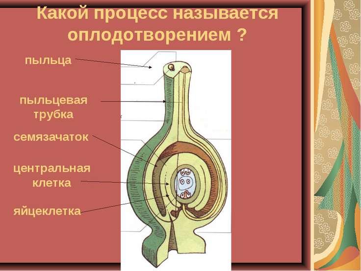 Какой процесс называется оплодотворением ? пыльца пыльцевая трубка семязачато...
