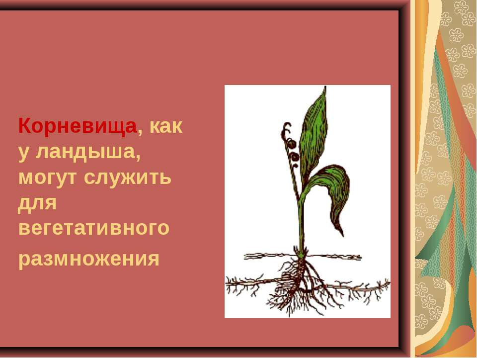 Корневища, как у ландыша, могут служить для вегетативного размножения