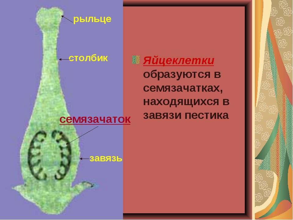 Яйцеклетки образуются в семязачатках, находящихся в завязи пестика рыльце сто...