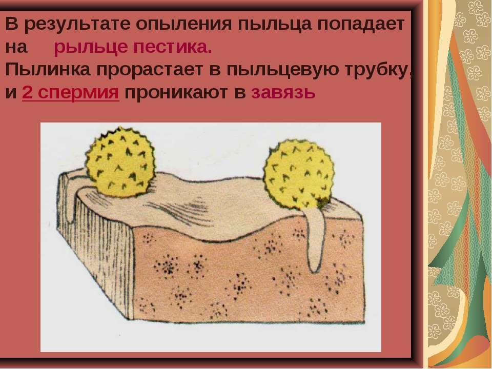 В результате опыления пыльца попадает на рыльце пестика. Пылинка прорастает в...