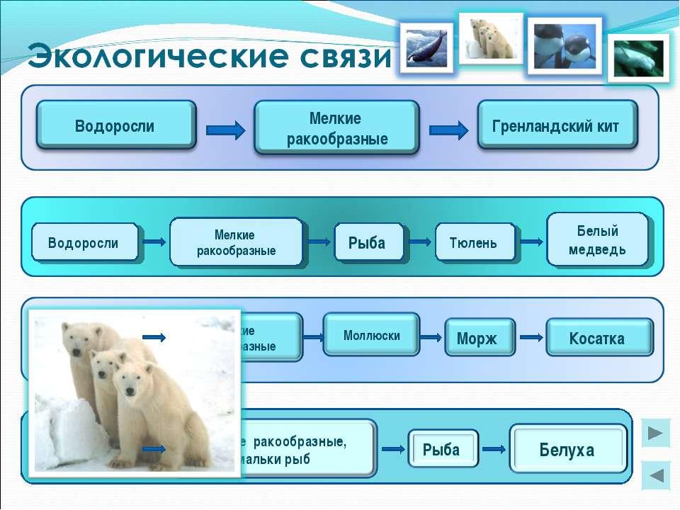 Мелкие ракообразные Водоросли Рыба Тюлень Белый медведь