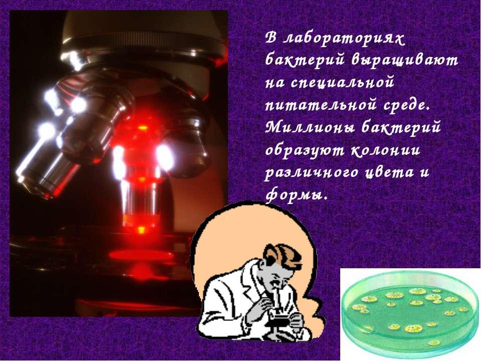 В лабораториях бактерий выращивают наспециальной питательной среде. Миллионы...
