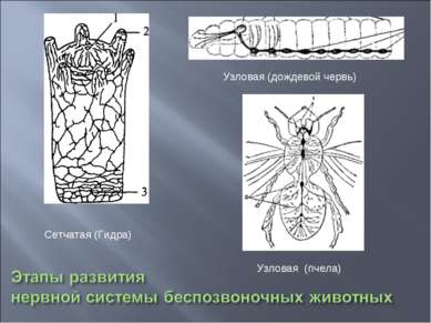 Сетчатая (Гидра) Узловая (дождевой червь) Узловая (пчела)