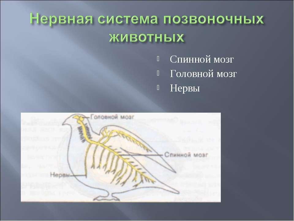Спинной мозг Головной мозг Нервы