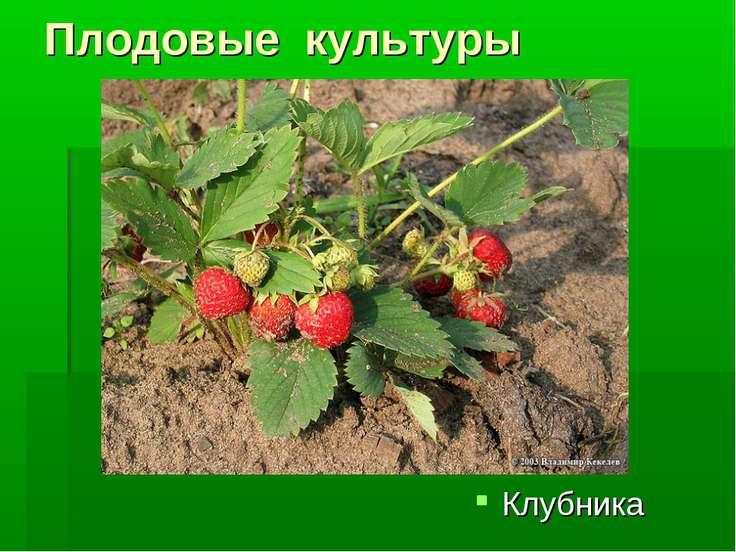 Плодовые культуры Клубника