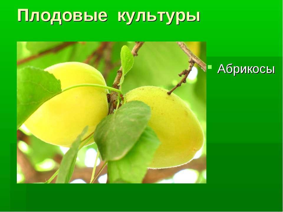 Плодовые культуры Абрикосы