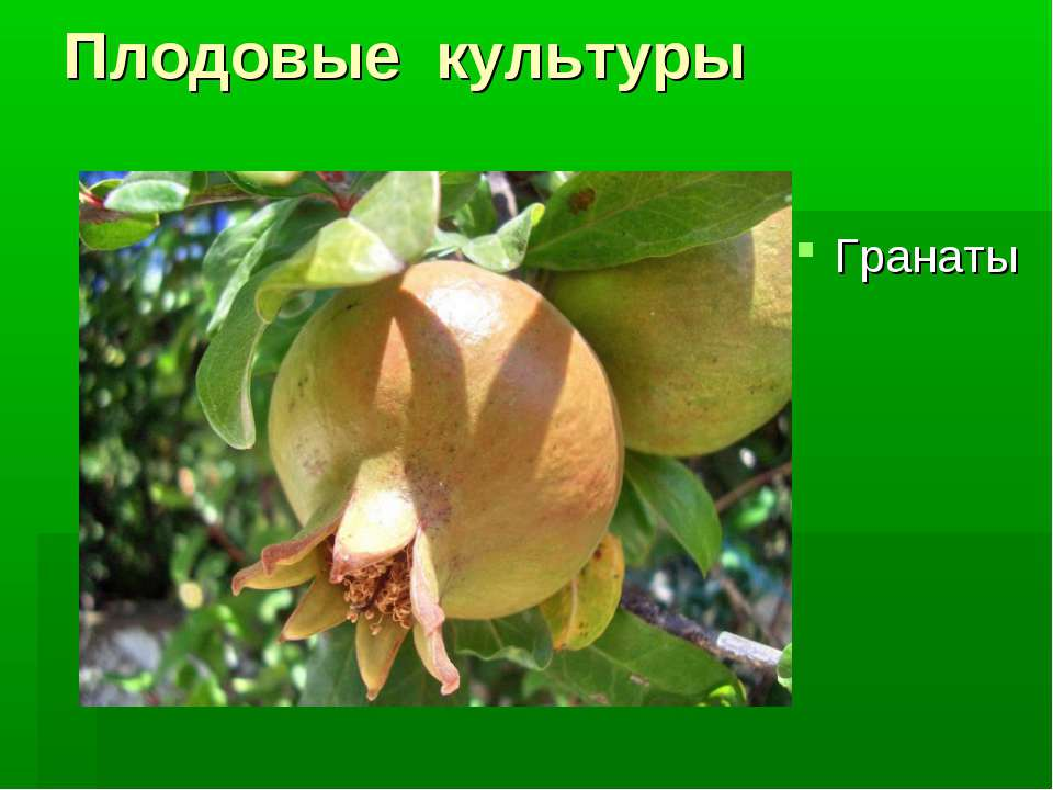 Плодовые культуры Гранаты
