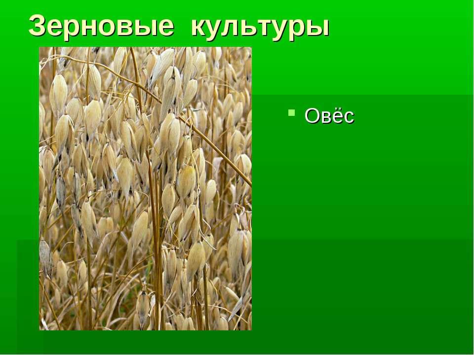 Зерновые культуры Овёс