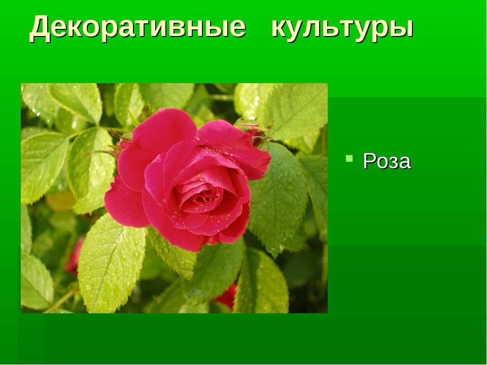 Декоративные культуры Роза