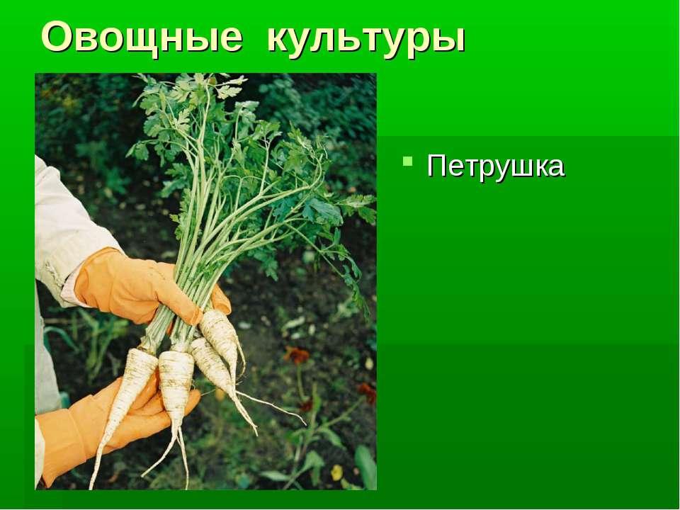 Овощные культуры Петрушка