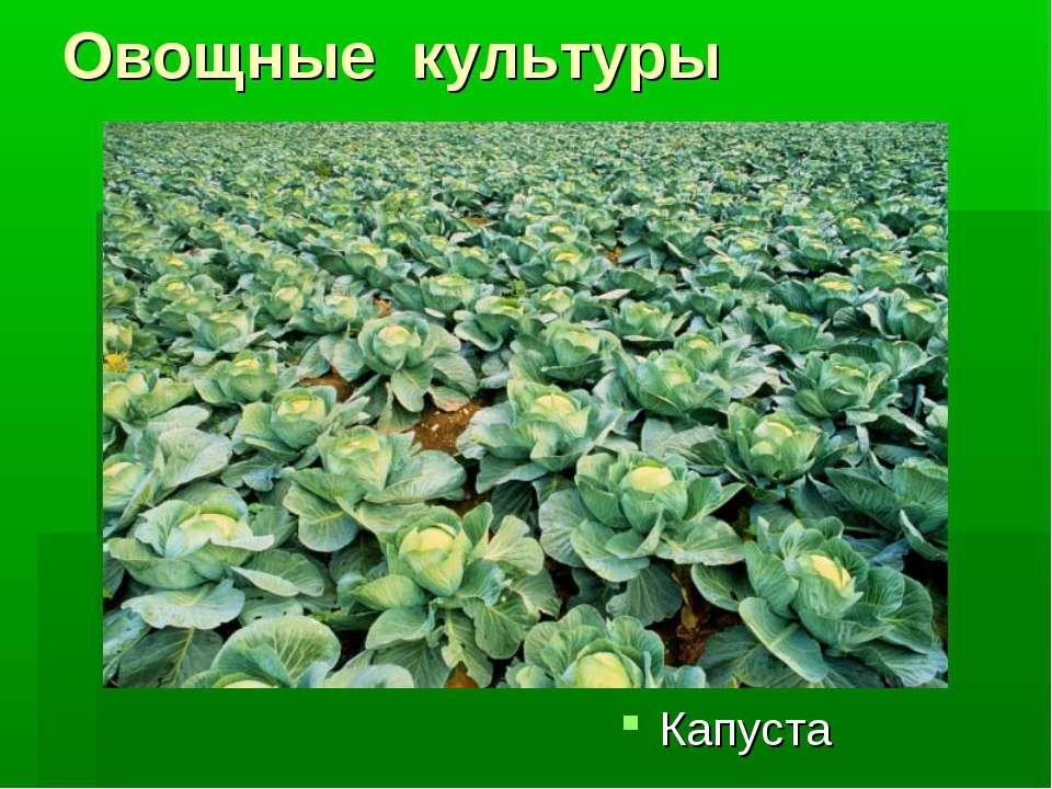 Овощные культуры Капуста