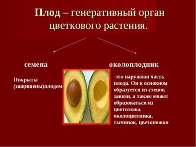 Плод – генеративный орган цветкового растения. семена околоплодник Покрыты (з...