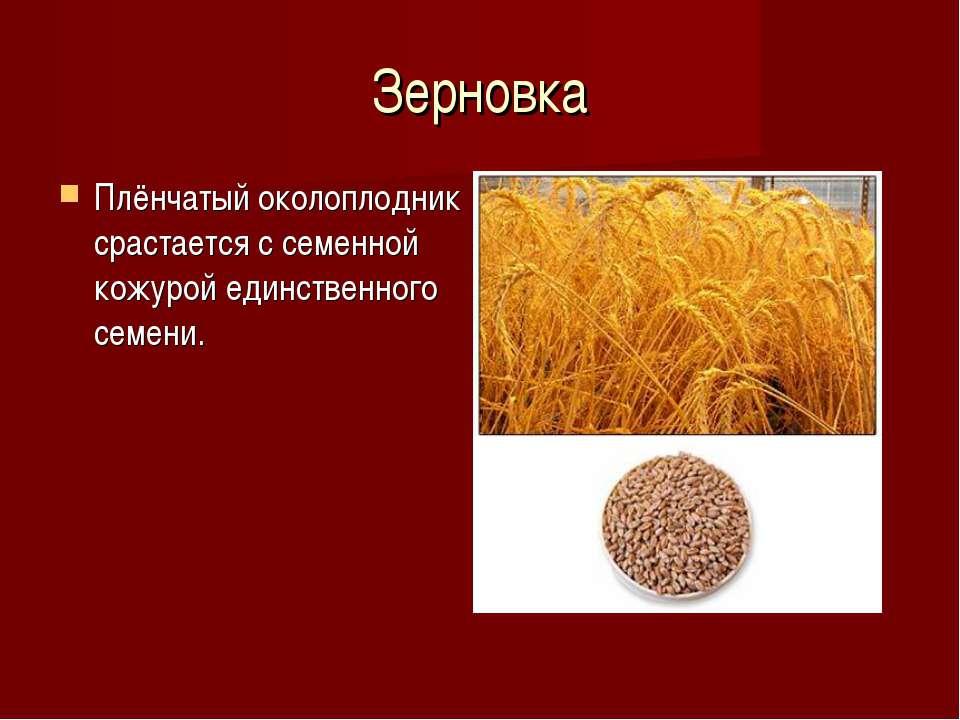 Зерновка Плёнчатый околоплодник срастается с семенной кожурой единственного с...