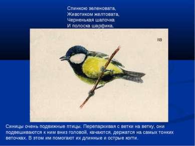 Синицы очень подвижные птицы. Перепархивая с ветки на ветку, они подвешиваютс...
