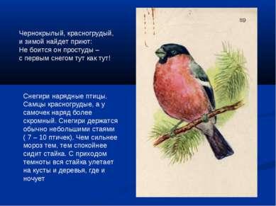 Снегири нарядные птицы. Самцы красногрудые, а у самочек наряд более скромный....