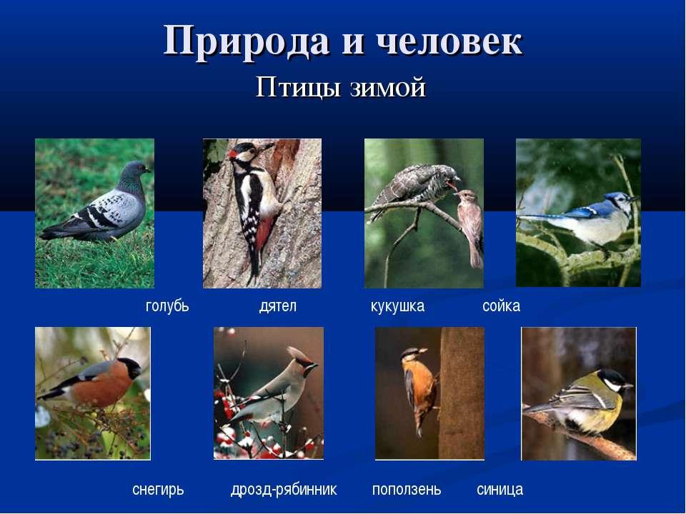 Природа и человек Птицы зимой голубь дятел кукушка сойка снегирь дрозд-рябинн...