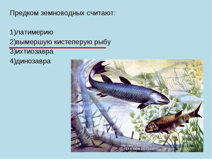 Предком земноводных считают: 1)латимерию 2)вымершую кистеперую рыбу 3)ихтиоза...