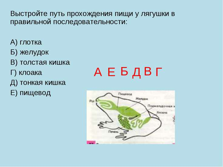 Выстройте путь прохождения пищи у лягушки в правильной последовательности: А)...