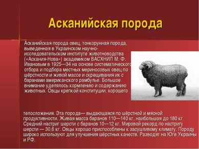 Асканийская порода Асканийская порода овец, тонкорунная порода, выведенная в ...