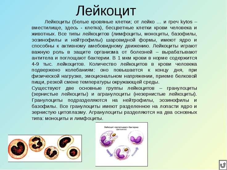 Лейкоцит Лейкоциты (белые кровяные клетки; от лейко … и греч kytos – вместили...