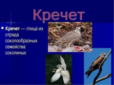 Кречет — птица из отряда соколообразных семейства соколиных