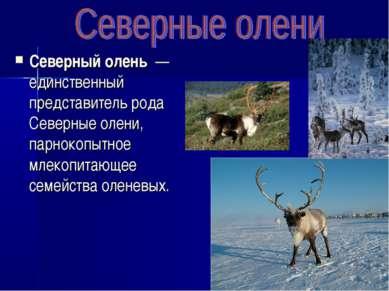Северный олень — единственный представитель рода Северные олени, парнокопытн...