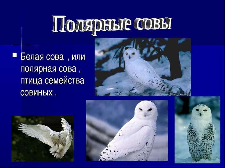 Белая сова , или полярная сова , птица семейства совиных .