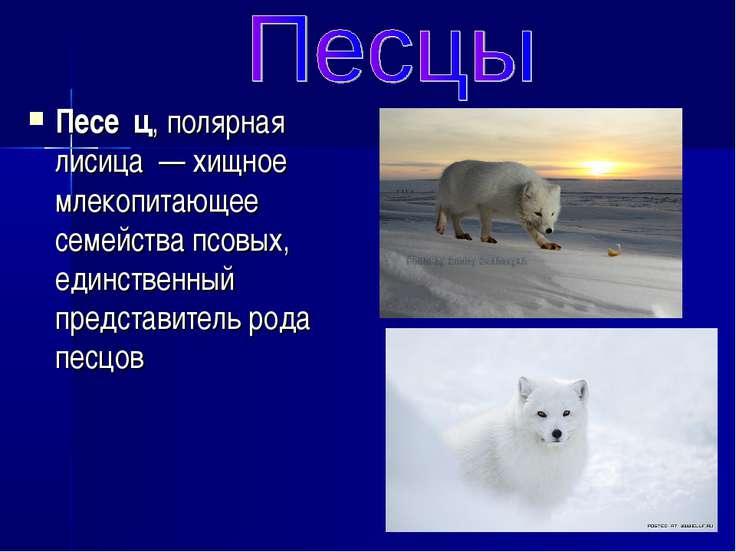 Песе ц, полярная лисица — хищное млекопитающее семейства псовых, единственны...