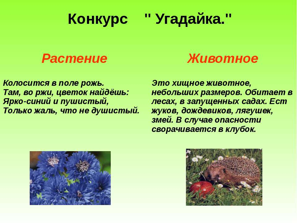 """Конкурс """" Угадайка."""" Растение Животное Колосится в поле рожь. Там, во ржи, цв..."""